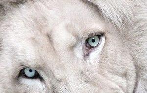 上位魔術・獅子シリーズ
